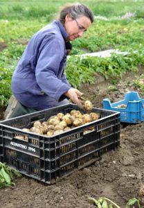 De eerste nieuwe aardappelen zijn er weer!